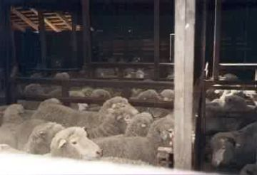Cormo Sheep awaiting shearing